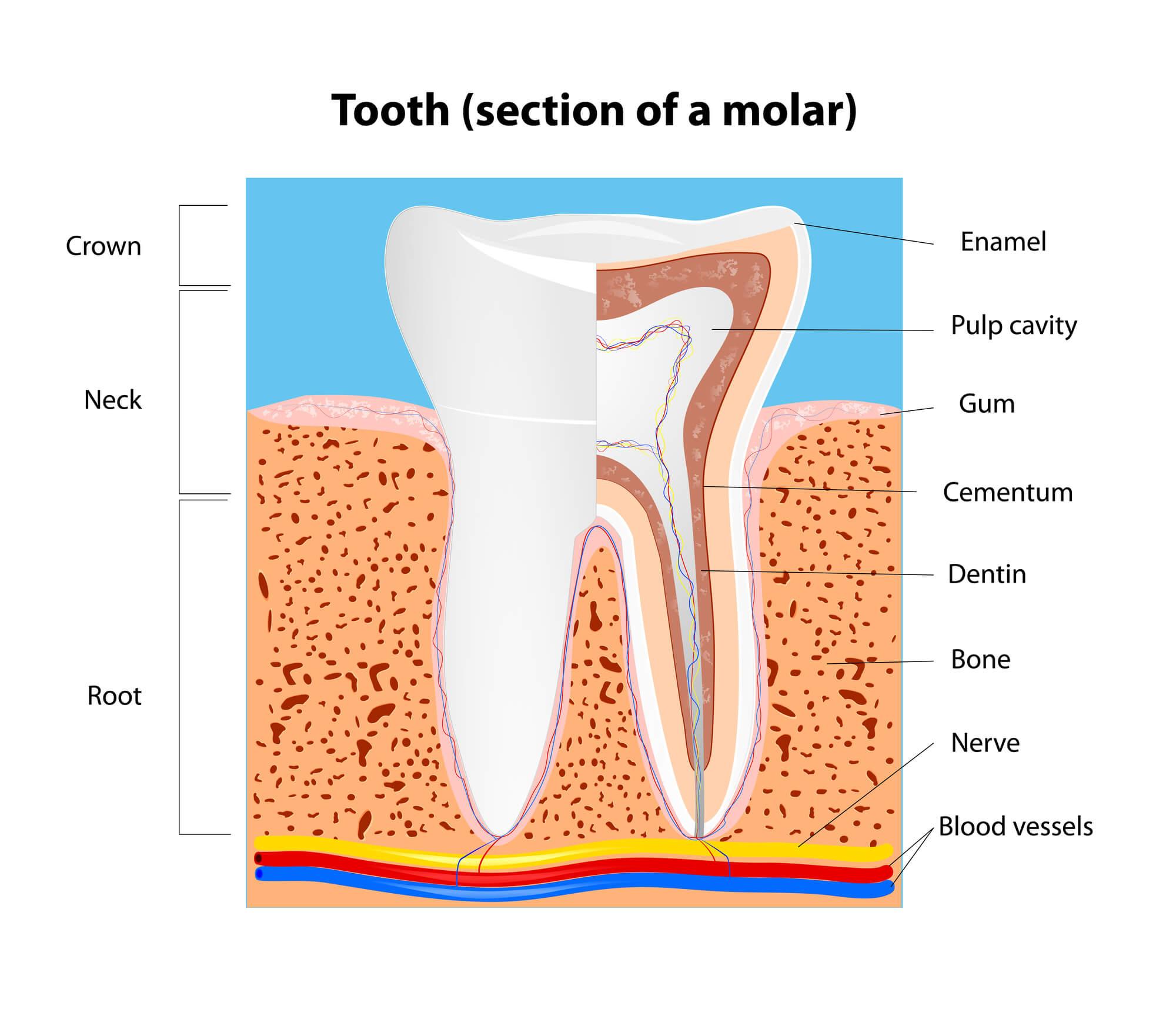 Dentist-in-Tamiami-diagram-teeth
